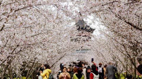 เมื่อถึงเวลาดอกไม้บาน ซากุระสะพรั่ง ระบายสีชมพูสดใส