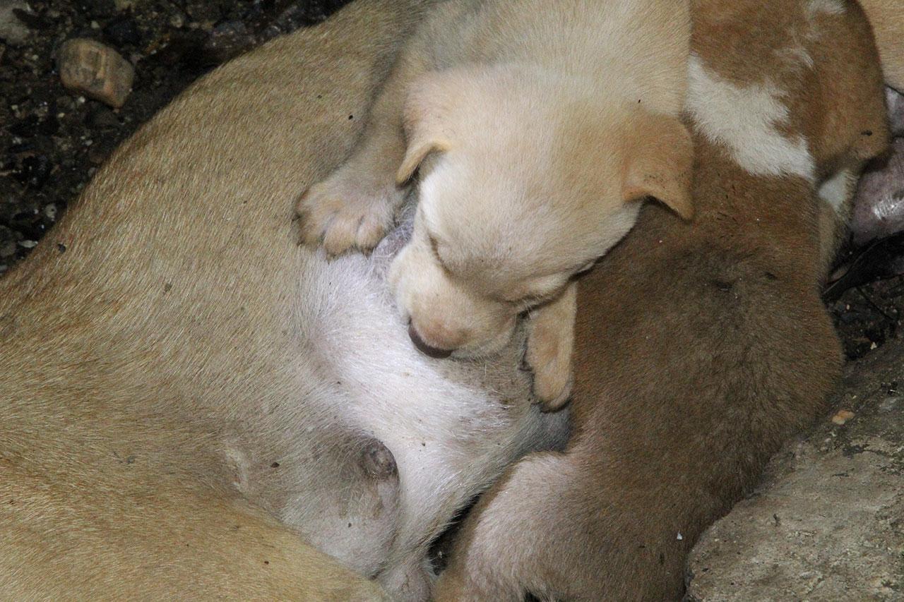 หมาน้อยที่เข้าดูดนมโดยที่ไม่รู้ว่าแม่จากไปแล้ว