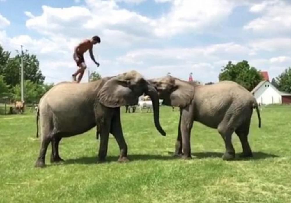 ตีลังกากลับหลัง มายืนบนหลังช้างอีกเชือก