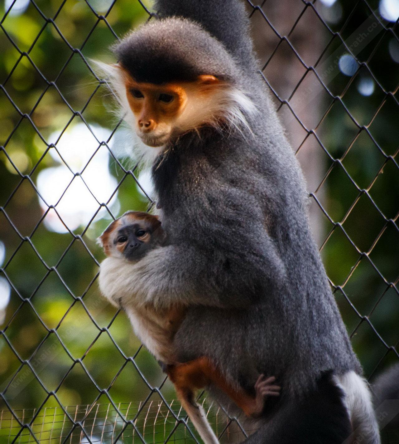 สุดน่ารัก! ค่างห้าสี ตกลูกที่สวนสัตว์เชียงใหม่ กลายเป็นสมาชิกตัวใหม่ รับวันเด็ก