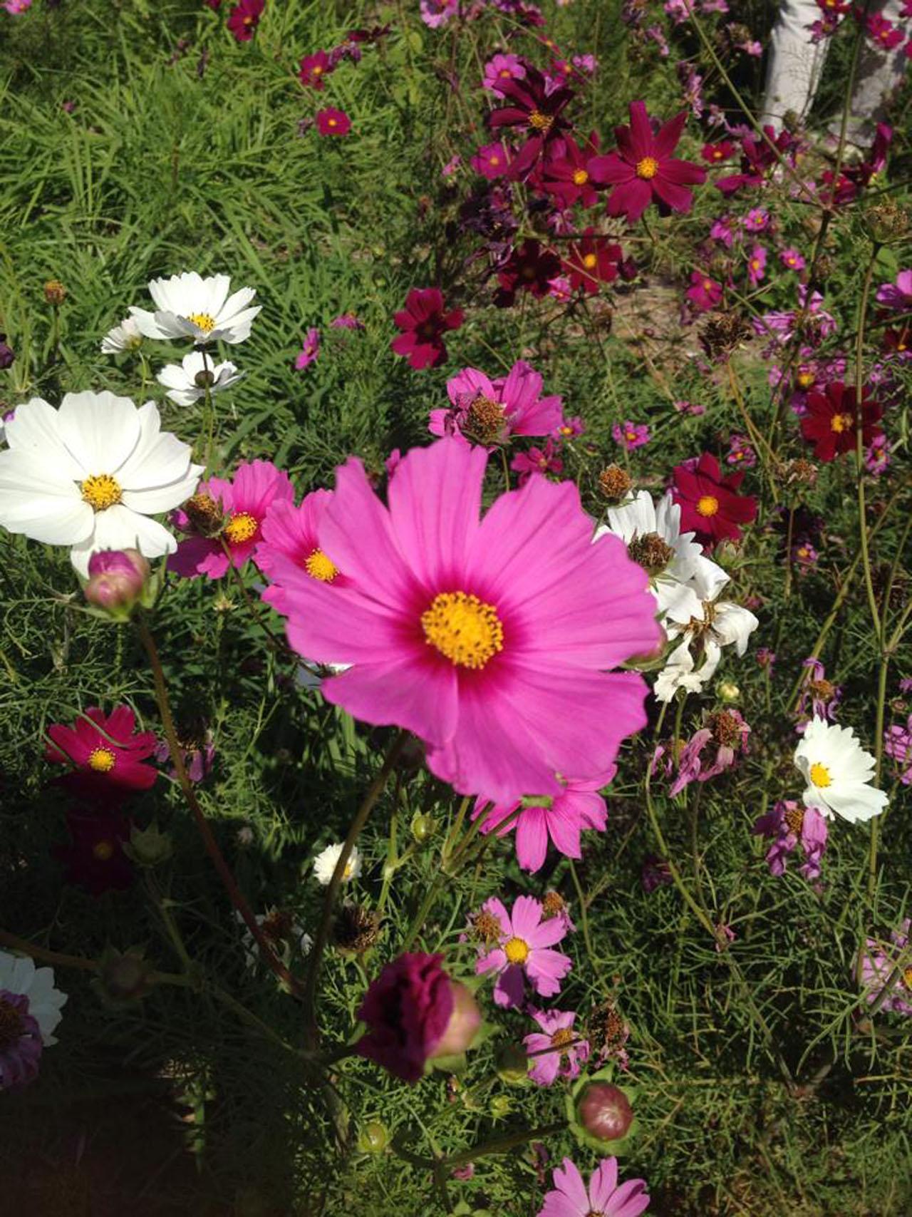 ดอกคอสมอสหลากสี