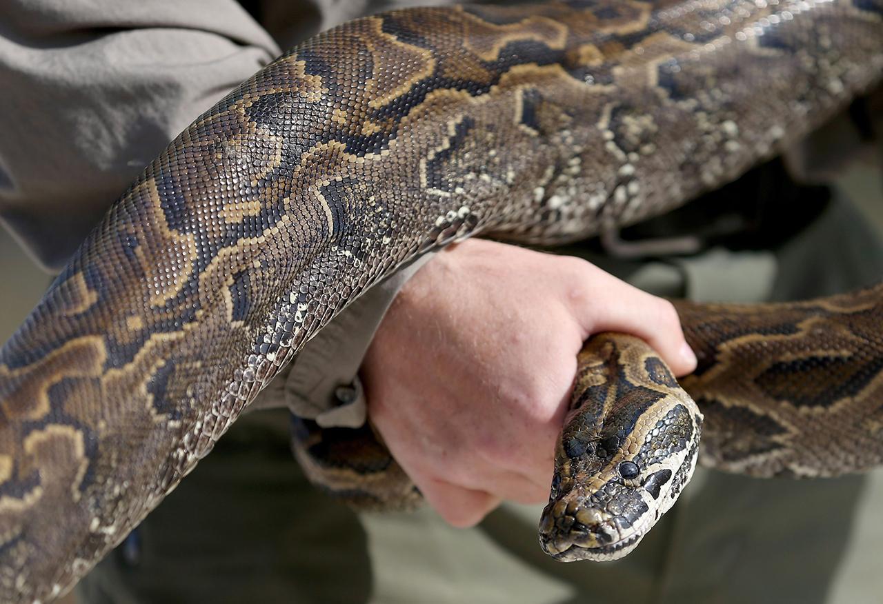 งูเหลือมบุกฟลอริดา