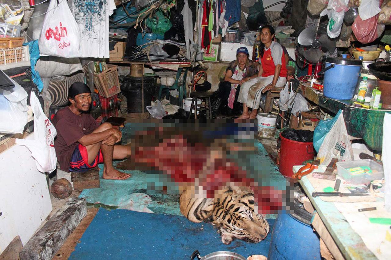 ตำรวจค้นบ้านต้องสงสัย พบซากเสือโคร่งขนาดใหญ่ น้ำหนักกว่า 400 กก.ความยาวเกือบ 3 เมตร