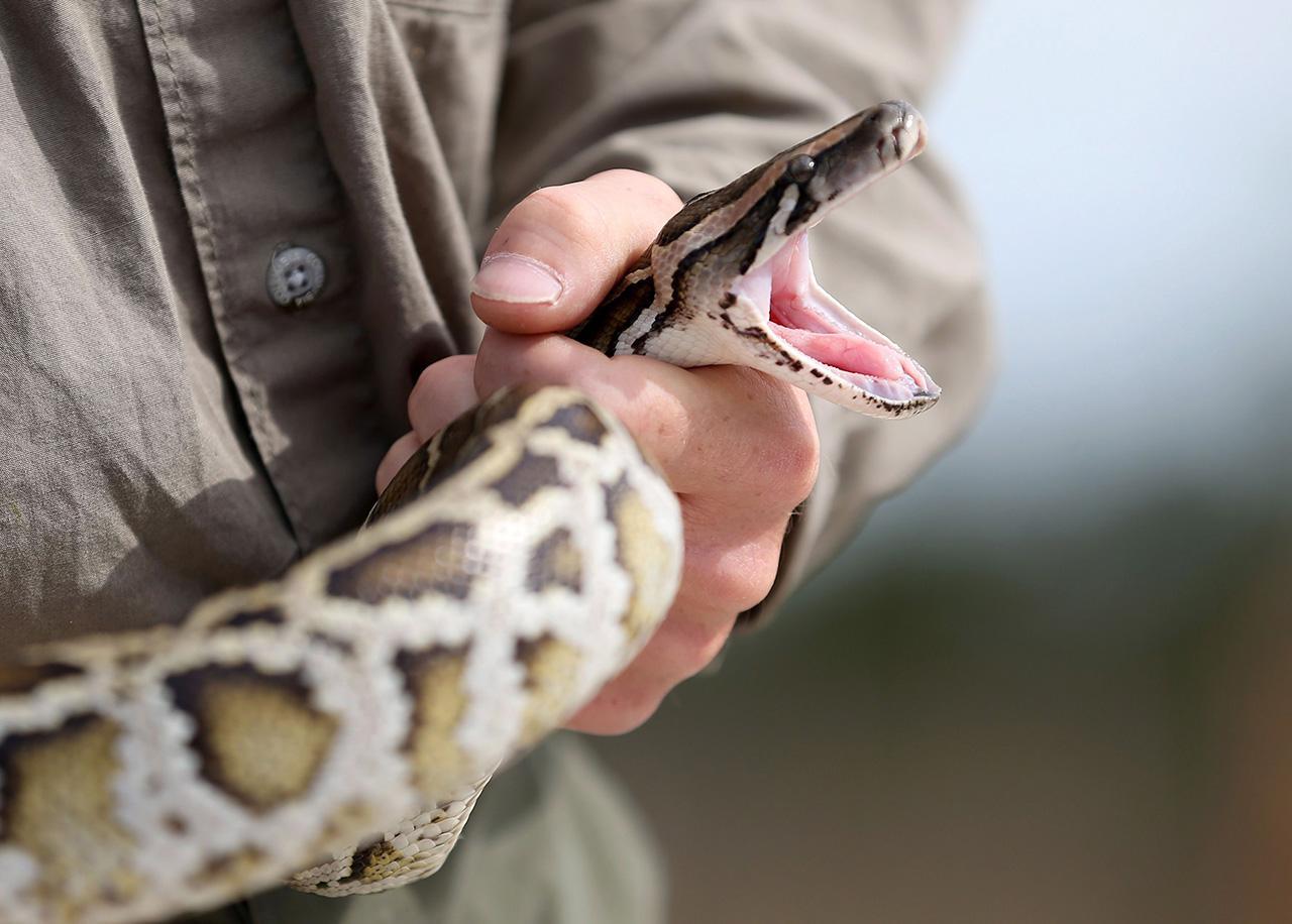 งูเหลือมเอเชียในสหรัฐ