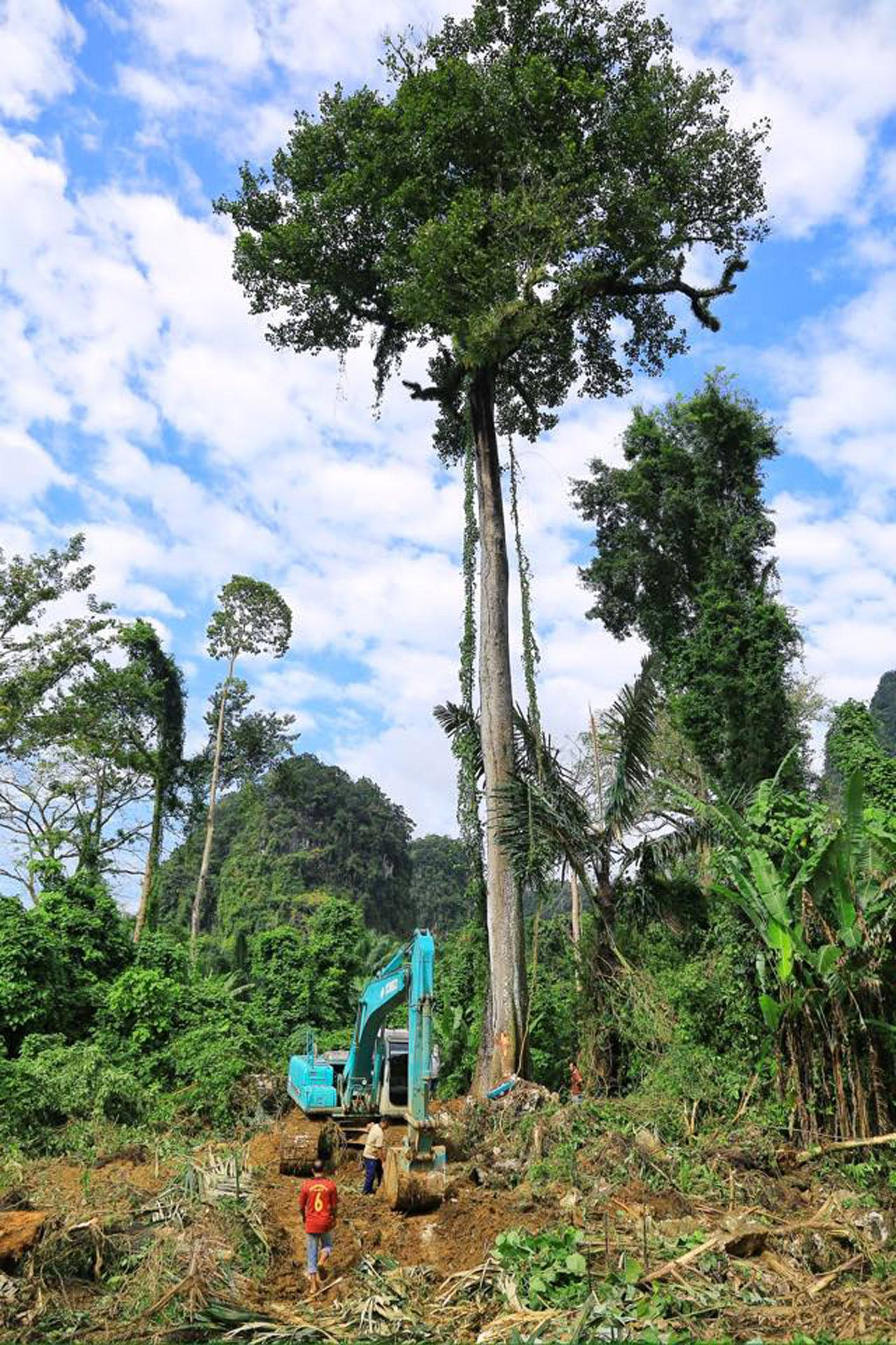 ต้นมะหาดสูงใหญ่ อายุกว่าร้อยปี