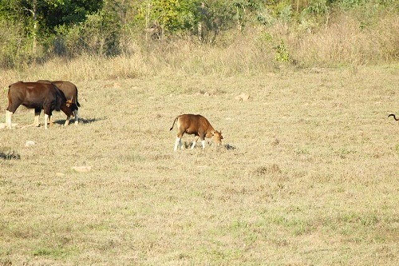 กระทิงลูกผสมวัวแดง หากินอยู่กับฝูงในป่ากุยบุรี