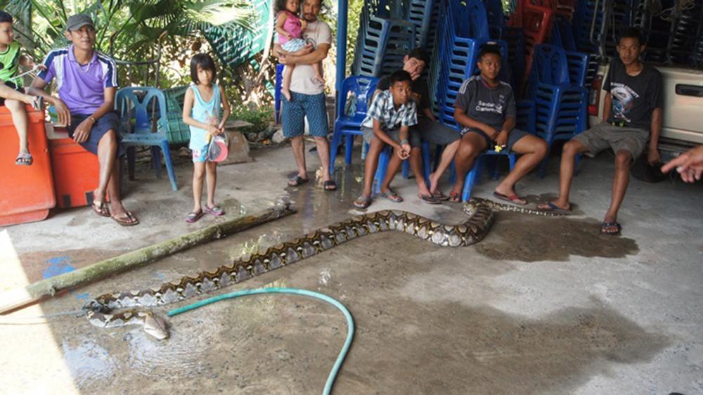 งูเหลือมยักษ์ ที่เจ้าหน้าที่จับไว้ได้ ปชช.ที่ทราบข่าวมาเฝ้าดู
