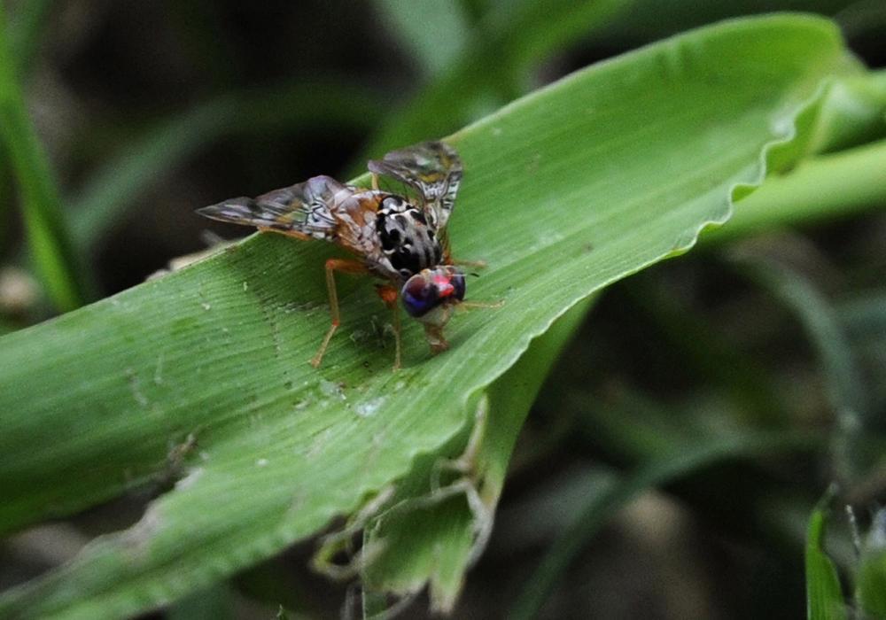 แมลงเมดิเตอร์เรเนียน