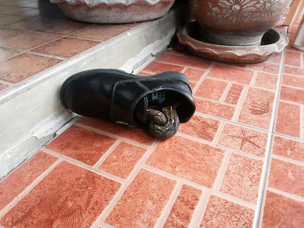 งูอยู่ในรองเท้า