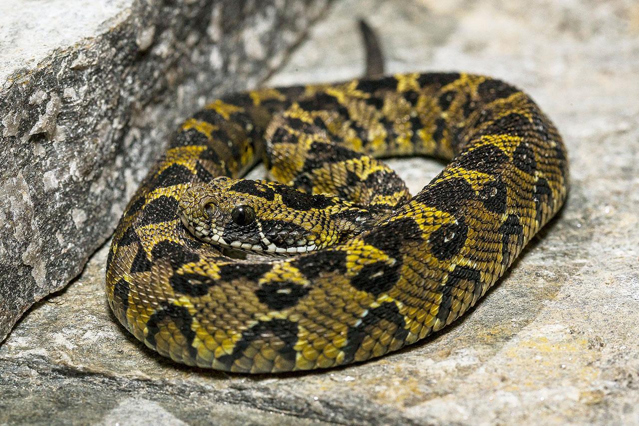 งูพันธุ์ยอดเขาสูง
