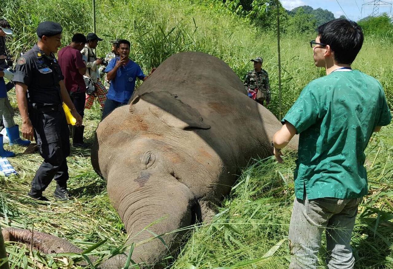 เชื่อว่าสาเหตุการคตายมาจากไฟฟ้าช็อต โดยมีการผ่าซากช้างเพื่อพิสูจน์หาสาเหตุที่แท้จริง