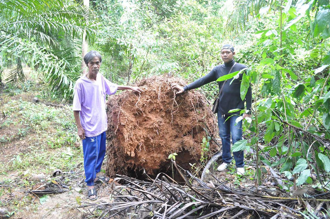 ต้นปาล์มได้รับความเสียหายจำนวนมาก