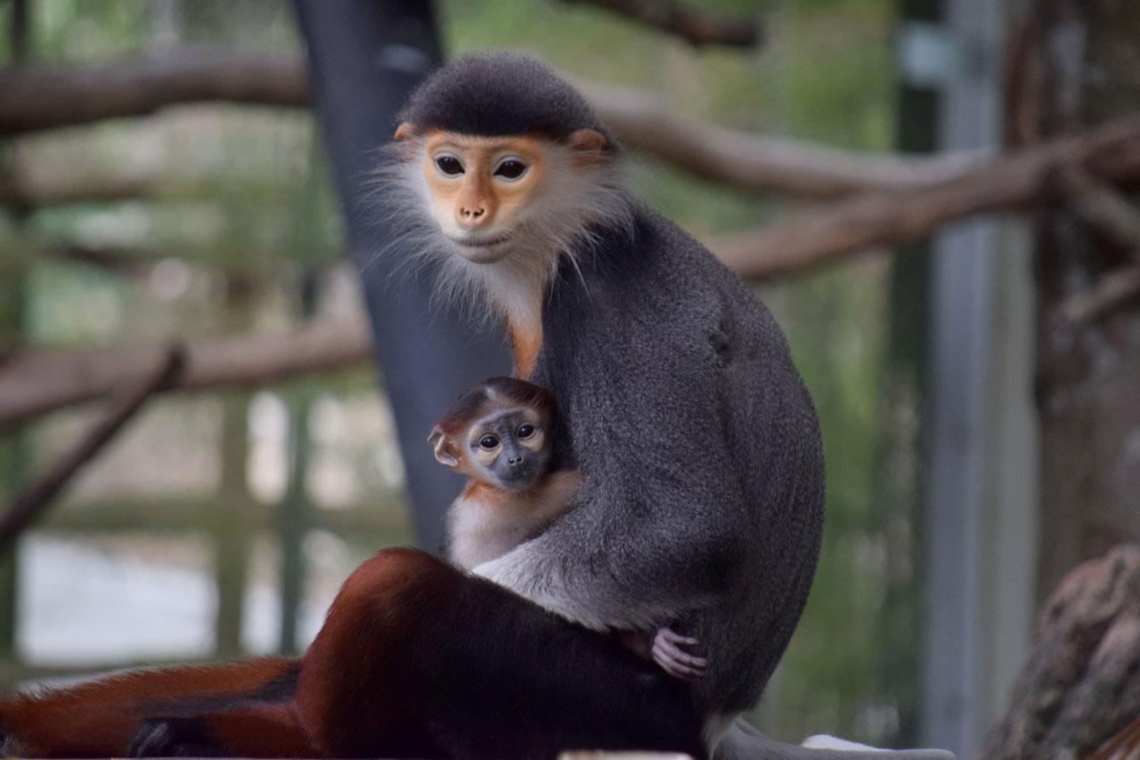 ลูกค่างห้าสีเพศผู้ สัตว์ป่าหายาก สีสันสวยงามที่สุดในโลก เกิดจากพ่อชื่อ 'ถั่วน้อย' อายุ 4 ปี และแม่ 'นางฟ้า' อายุ 4 ปี...