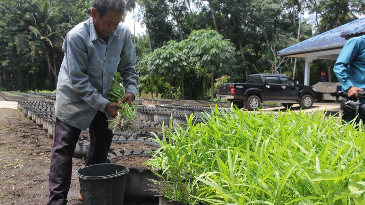 เกษตรกรชาวสวนยางใน จ.สุราษฎร์ธานี ปลูกผักบุ้งจีนในล้อยางรถยนต์