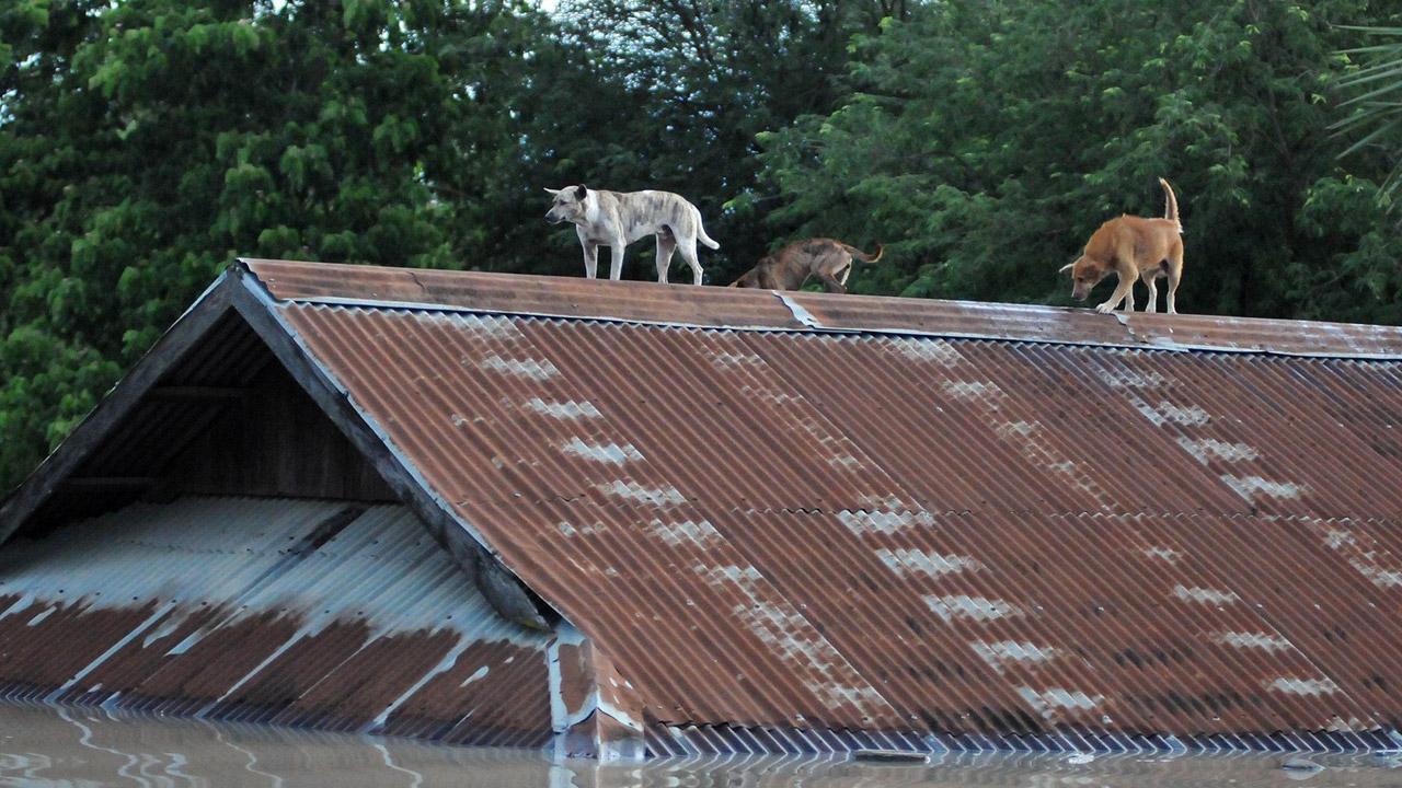 สุนัขต้องหนีน้ำท่วมสูง ขึ้นไปอยู่บนหลังคาบ้านในเขตสะกาย