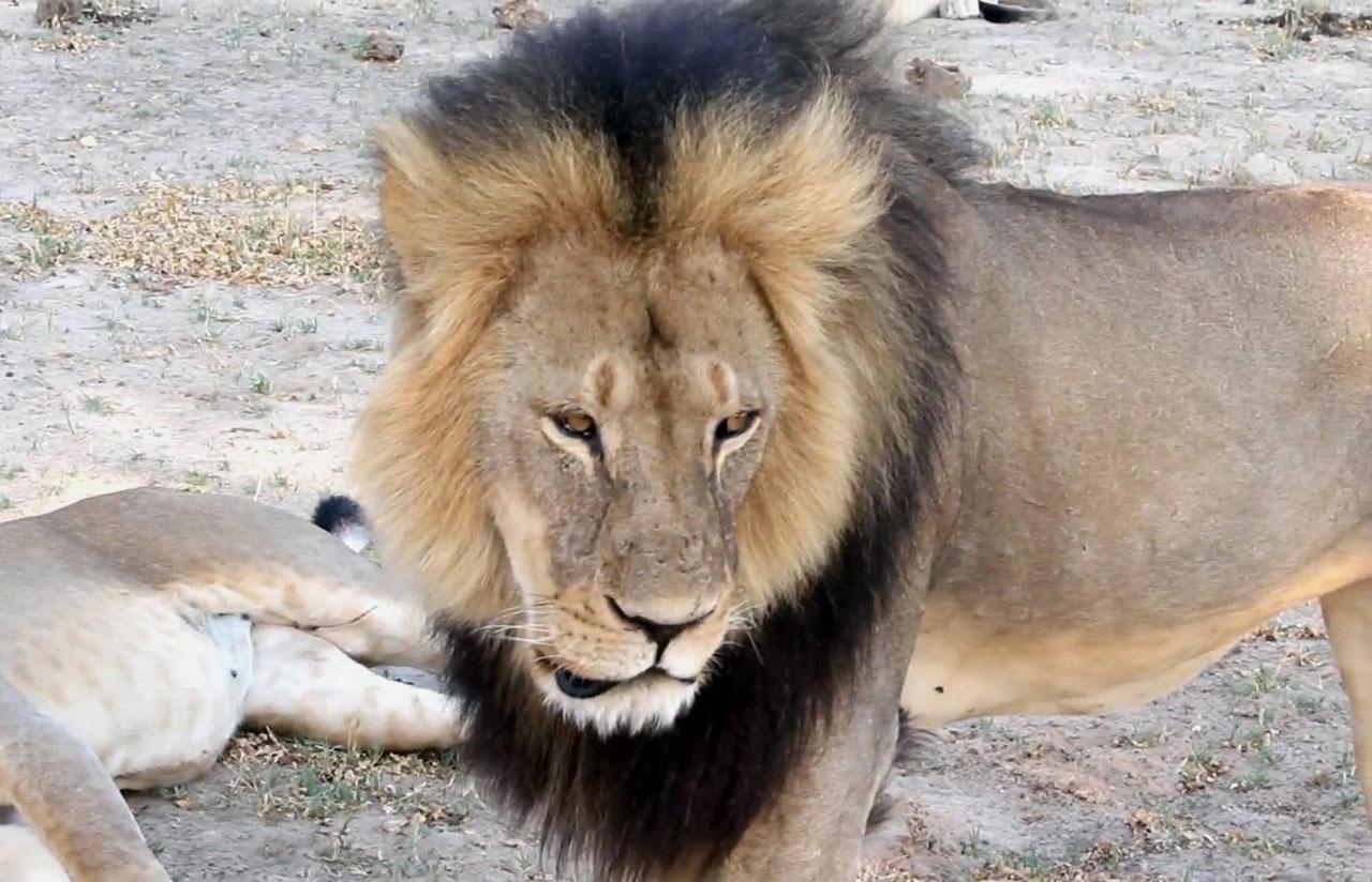 ภาพในอดีตของ เจ้าเซซิล สิงโตชื่อดังที่อุทยานแห่งชาติฮวางเก ในซิมบับเว ก่อนที่มันจะโดนหมออเมริกันฆ่าอย่างเหี้ยมโหด