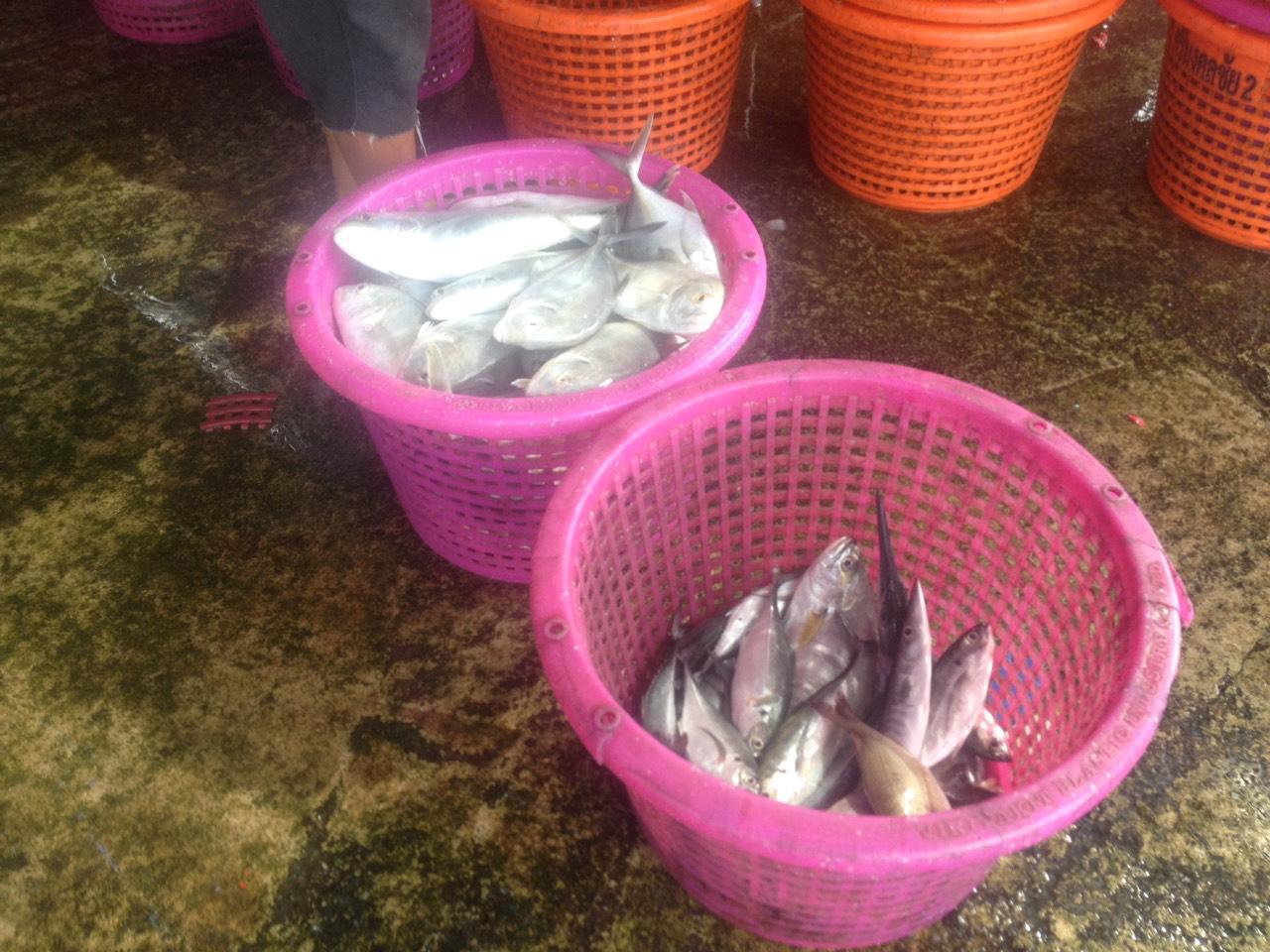 ปลามง ปลาเศรษฐกิจที่สำคัญ