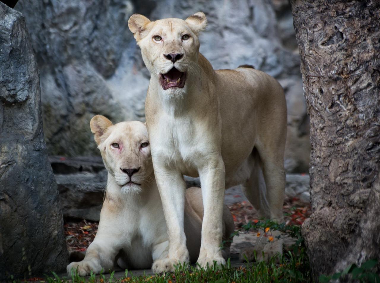 สิงโตขาว จากแอฟริกาใต้