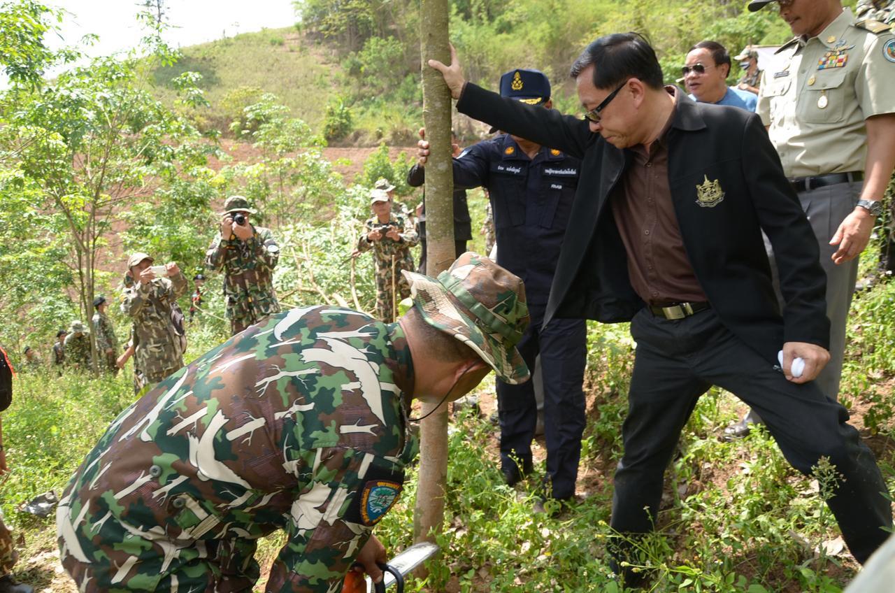 ตัดต้นยางพารา ที่ปลูกบุกรุกพื้นที่ป่าอนุรักษ์ จ.เชียงใหม่