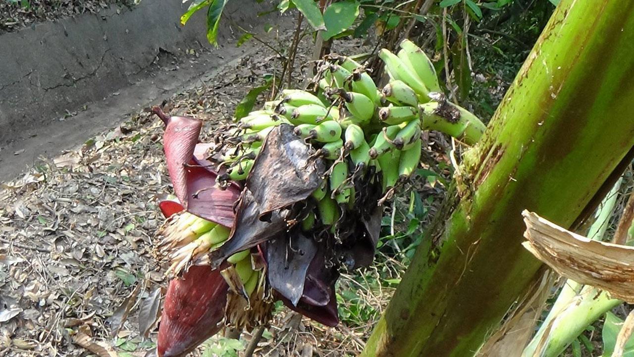 กล้วยประหลาดออกปลีกลางลำต้น ชาวอ่างทองขอโชค