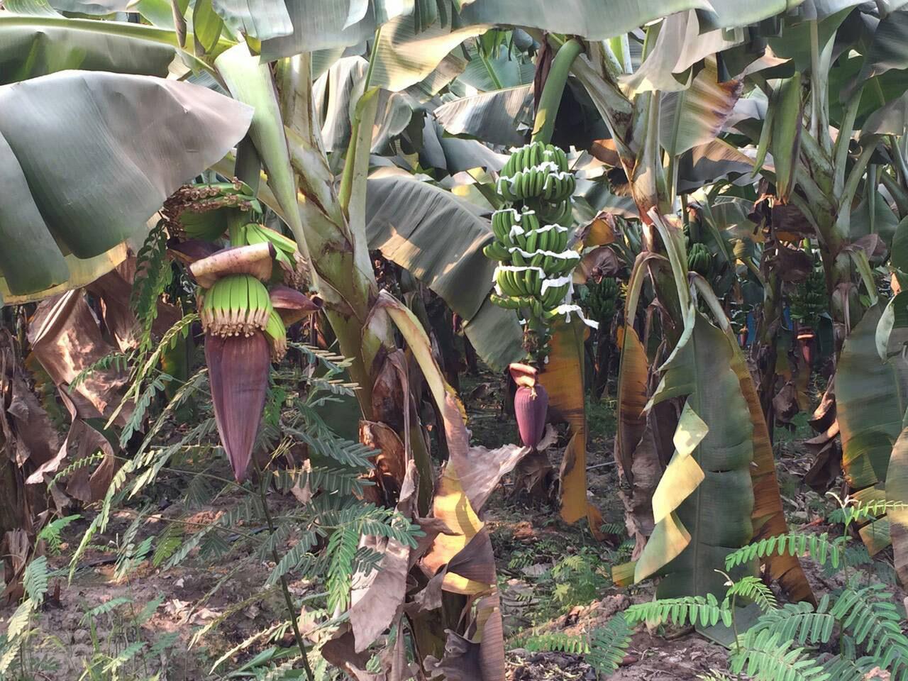 ทางอำเภอจะมีการประชุมอีกครั้งว่า การที่กลุ่มทุนมาลงทุนปลูกสวนกล้วยหอมส่งออก ประชาชนจะได้อะไร ทางบริษัทจะสร้างประโยชน์ให้กับพื้นที่อย่างไร