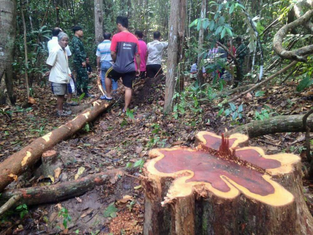 คนร้ายลอบตัดไม้พะยูง อายุกว่า 100 ปี ภายในวัดโกศลนิวาส จ.อุบลราชธานี