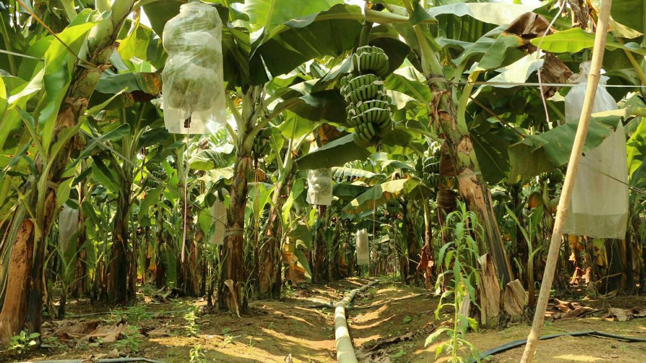 นายทุนจีนโอด คิดผิดที่มาลงทุนในพื้นที่แถบนี้ เพราะน้ำไม่เพียงพอในการใช้ ดูแลสวนกล้วย