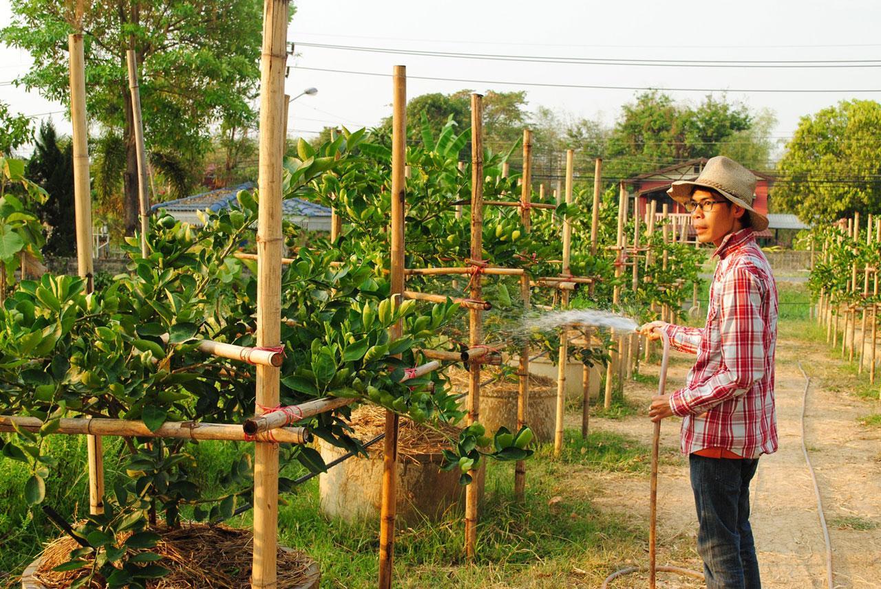 เกษตรกร จ.สุโขทัย ปลูกมะนาวบังคับออกหน้าร้อน สร้างรายได้งาม