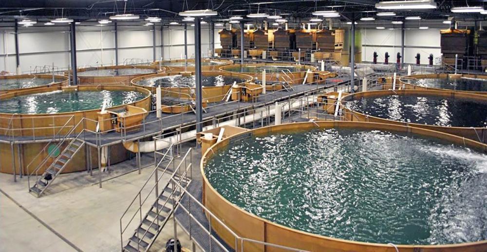 การเลี้ยงปลาในอาคารซึ่งมีระบบหมุนเวียนน้ำมาใช้ใหม่