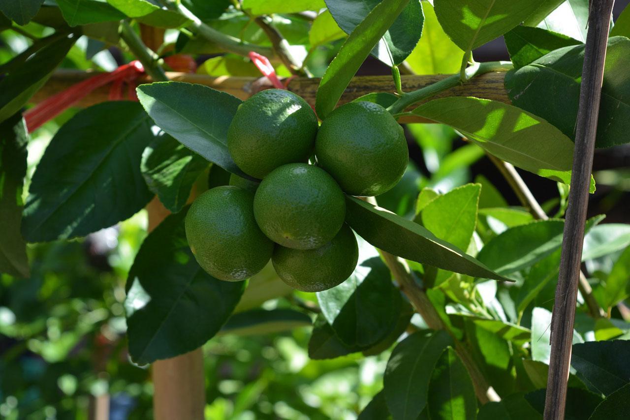 ผลมะนาวที่ปลูกโดยไม่ใช้ดิน