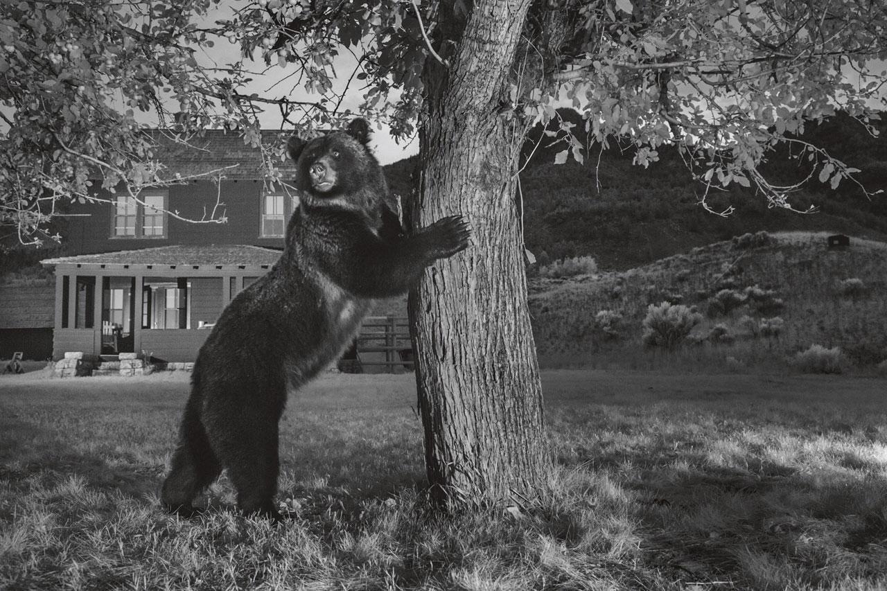 กล้องดักถ่ายภาพจับภาพหมีกริซลี ขณะเอื้อมมือไปเด็ดผลแอปเปิ้ลบนต้นไว้ได้ หมีกริซลีมักแวะเวียนไปเยือนสวนผลไม้ ตามแนวแบ่งเขตทางตอนเหนือของเยลโลว์สโตน อย่างเช่นสวนแห่งนี้