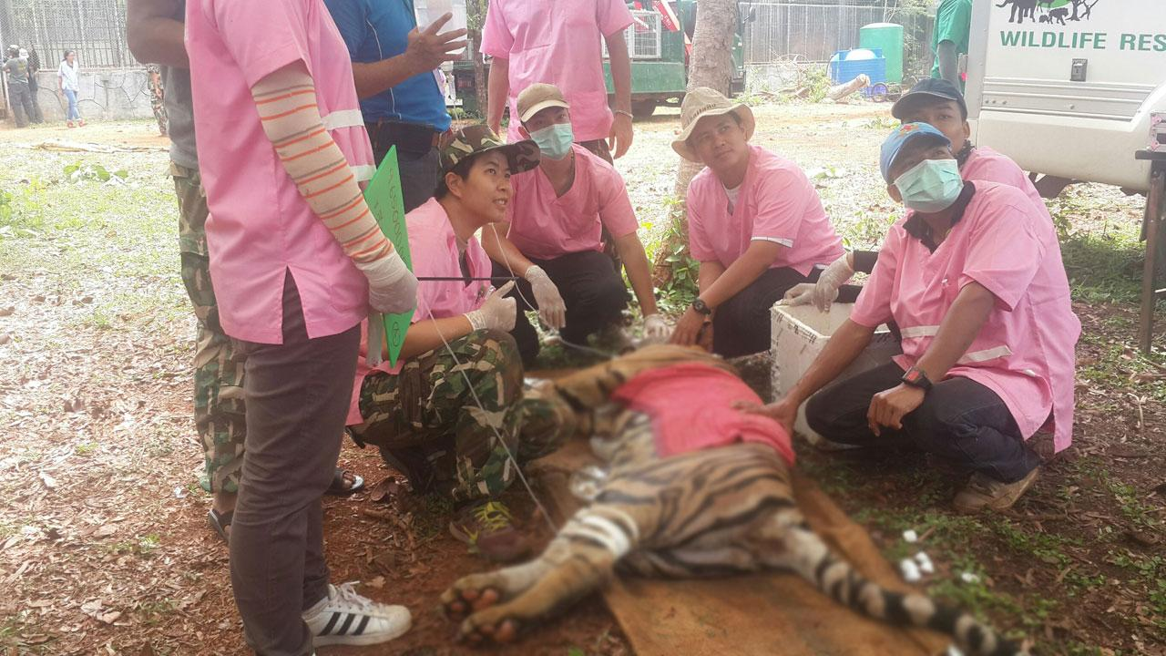 เจ้าหน้าที่สัตวแพทย์พร้อมทีมงานได้ระดมกันยิงยาสลบและเริ่มการขนย้ายเสือโคร่งออกจากเกาะเสือ