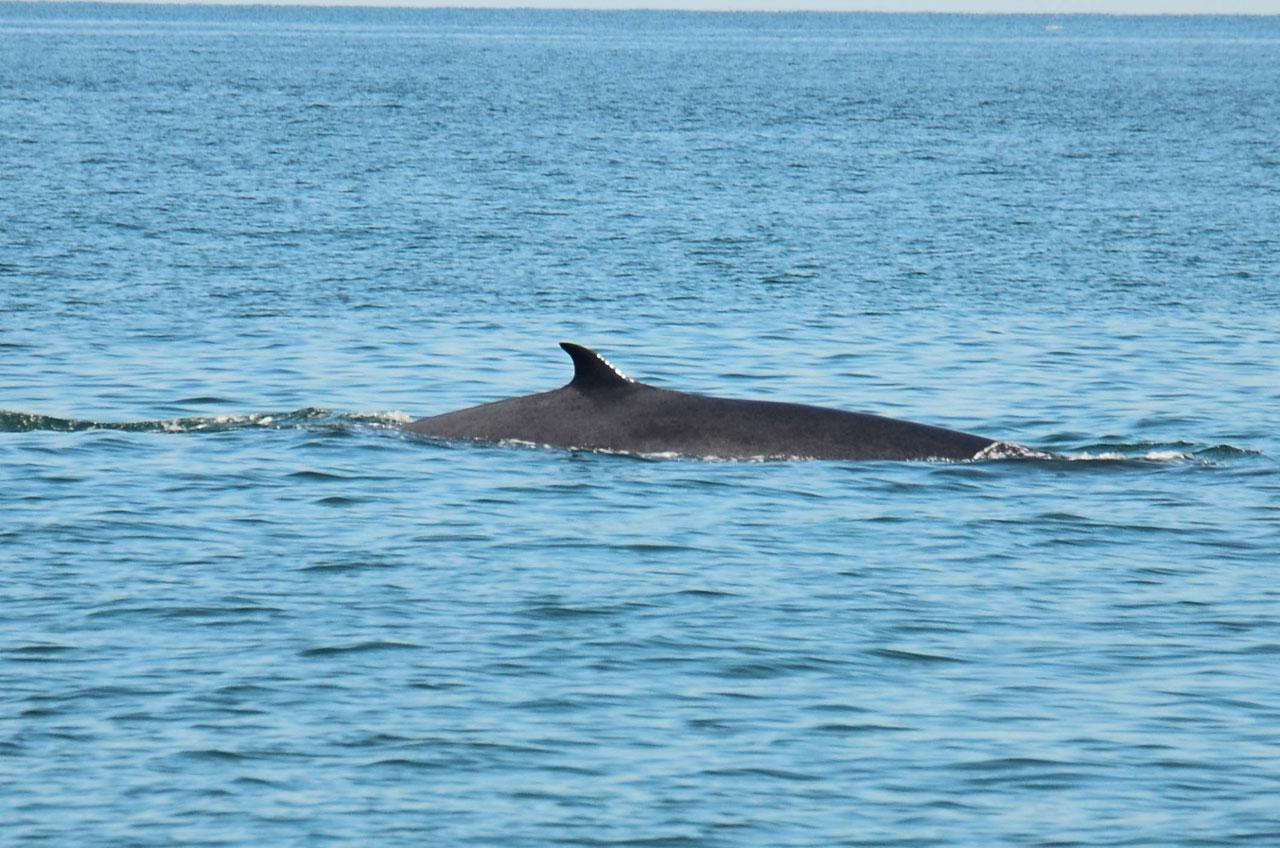ปลาวาฬ ว่ายน้ำให้นักท่องเที่ยวกับสื่อมวลชนได้ยลโฉม
