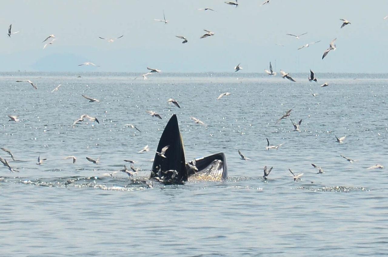 ปลาวาฬบรูด้า กำลังฮุบเหยื่อ เครื่องพิสูจน์ความอุดมสมบูรณ์กลางทะเลอ่าวไทย
