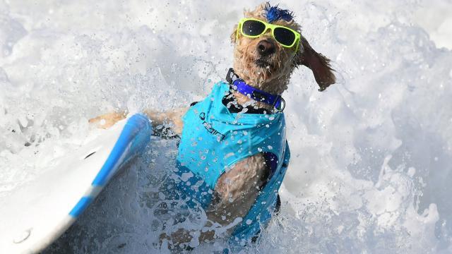 """คนรักน้องหมาถูกใจสิ่งนี้ """"รัฐแคลิฟอร์เนีย"""" จัดแข่งขัน """"เจ้าตูบ"""" โต้คลื่น (คลิป)"""