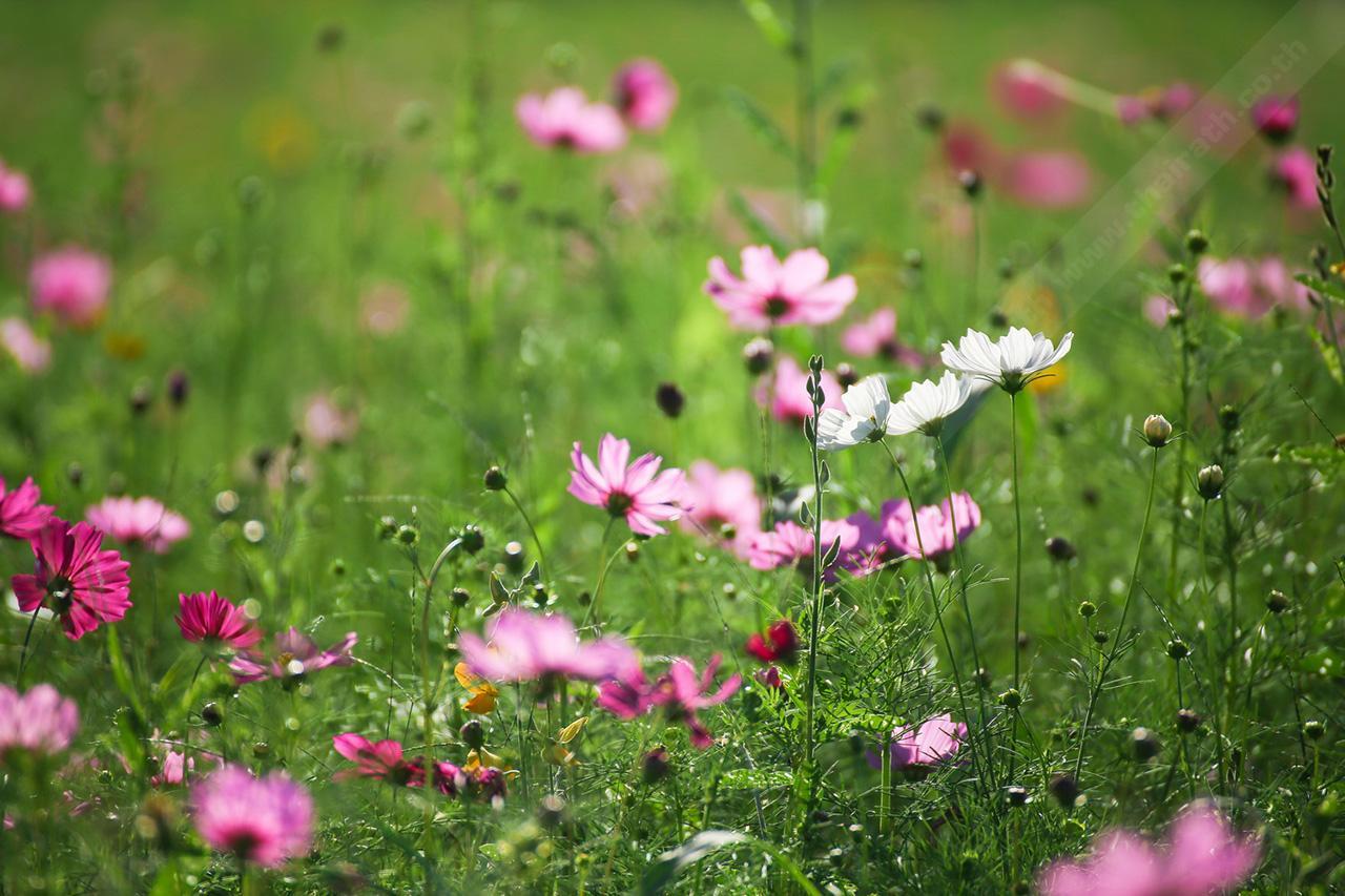 ดอกคอสมอสมีทั้งสีชมพูเข้ม ชมพูอ่อน สีขาว