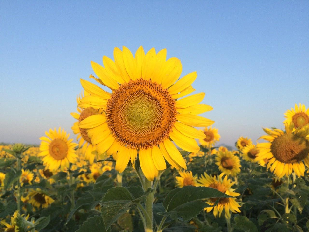 ดอกใหญ่ สวยๆ ทางนี้เลย