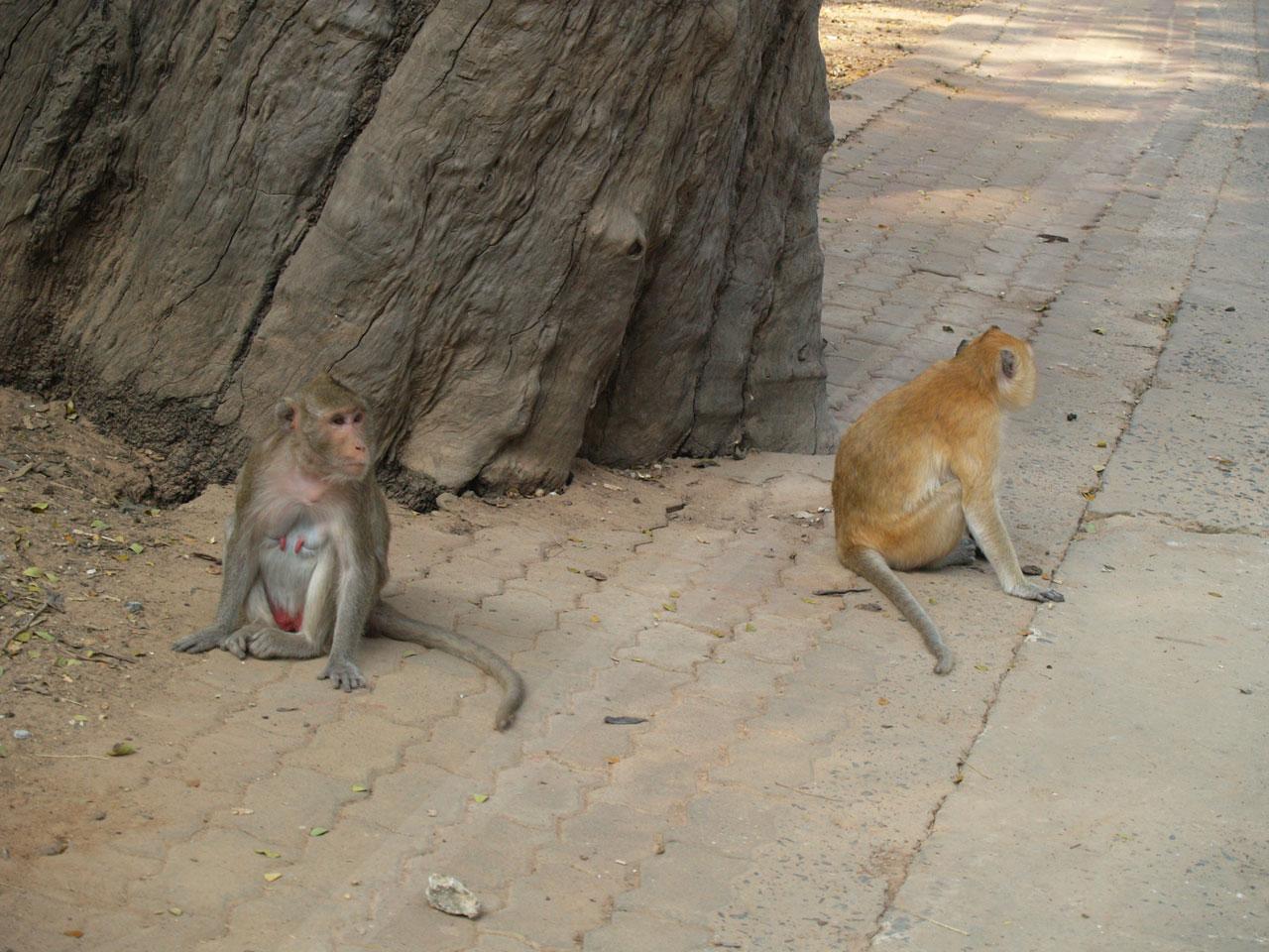 ดูชัดๆ ความแตกต่างของลิงขนสีเทาพันธุ์ดั้งเดิม และลิงขนสีทองที่เป็นยีนส์ด้อย
