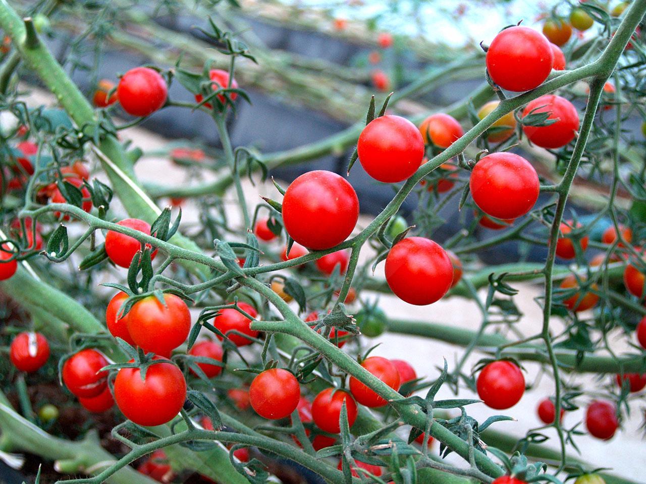 Red Cherry Tomato ผลกลม เปลือกบาง รสชาติเข้มข้น