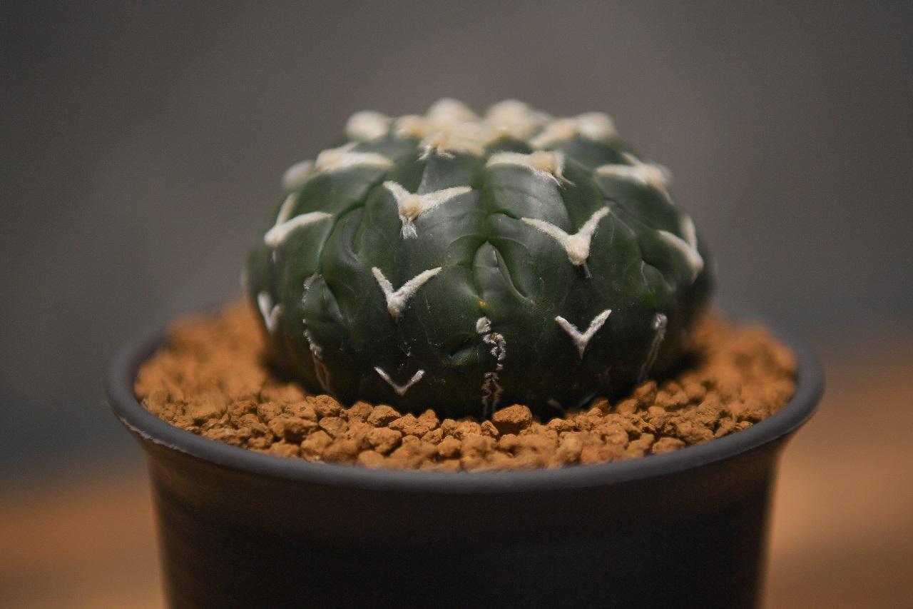 Astrophytum astrerias