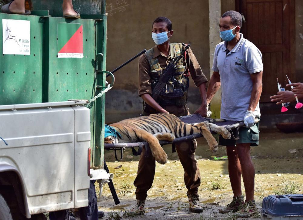 เจ้าหน้าที่เคลื่อนย้ายเสือที่หลับเพราะยาสลบ ออกจากหมู่บ้านใกล้อุทยาน คาซีรังกา ที่พวกมันหนีมาหลบภัยน้ำท่วม