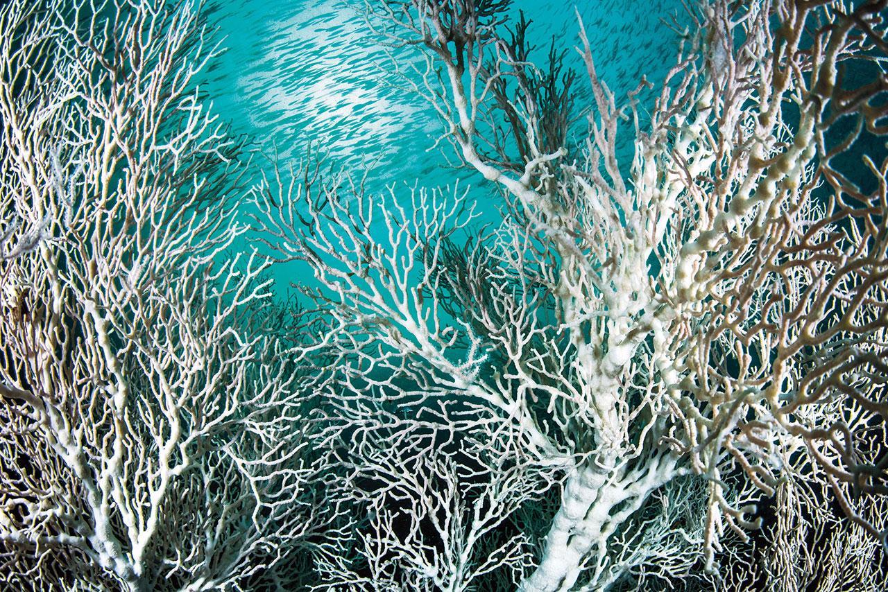 กอกัลปังหาที่มีสีขาวแปลกตาและฝูงลูกปลาใต้ผืนน้ำที่กองหินขาว ใกล้หมู่เกาะบุโหลน เมื่อต้นปี 2560 โครงการรักษ์หินขาวสำรวจปะการังอ่อนและกัลปังหาสีขาว ซึ่งไม่ค่อยพบเห็นในแนวปะการังทั่วไป สันนิษฐานว่าเกิดจากน้ำที่ขุ่นเขียวด้วยตะกอนสารอาหาร ทำให้เกิดสภาวะแสงน้อยคล้ายแนวปะการังน้ำลึก