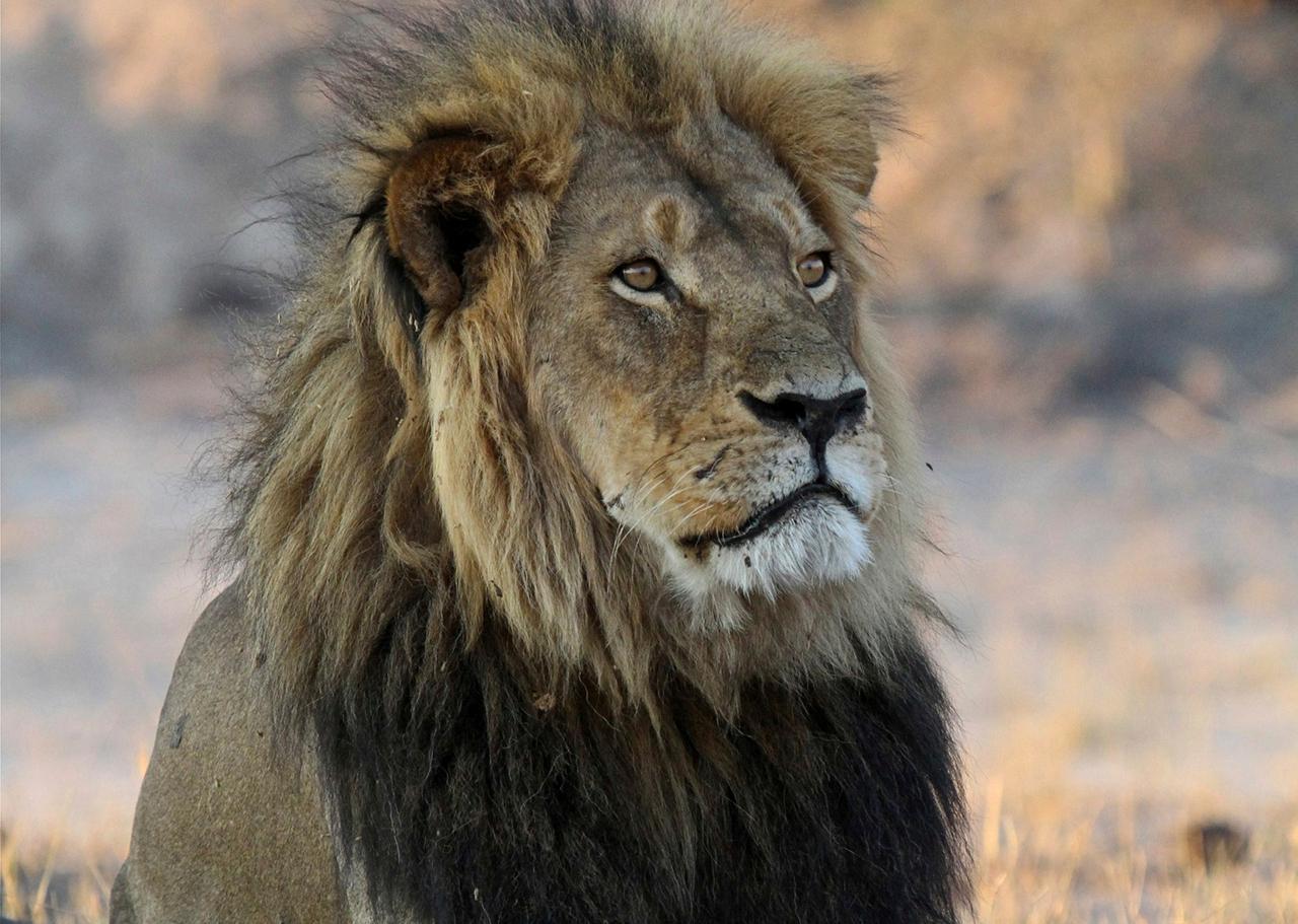 คิดถึงเจ้าเซซิล.. สิงโตที่มีแต่คนรักประจำอุทยานแห่งชาติซิมบับเว ที่ต้องมาจบชีวิตเพราะนักล่าชาวอเมริกัน