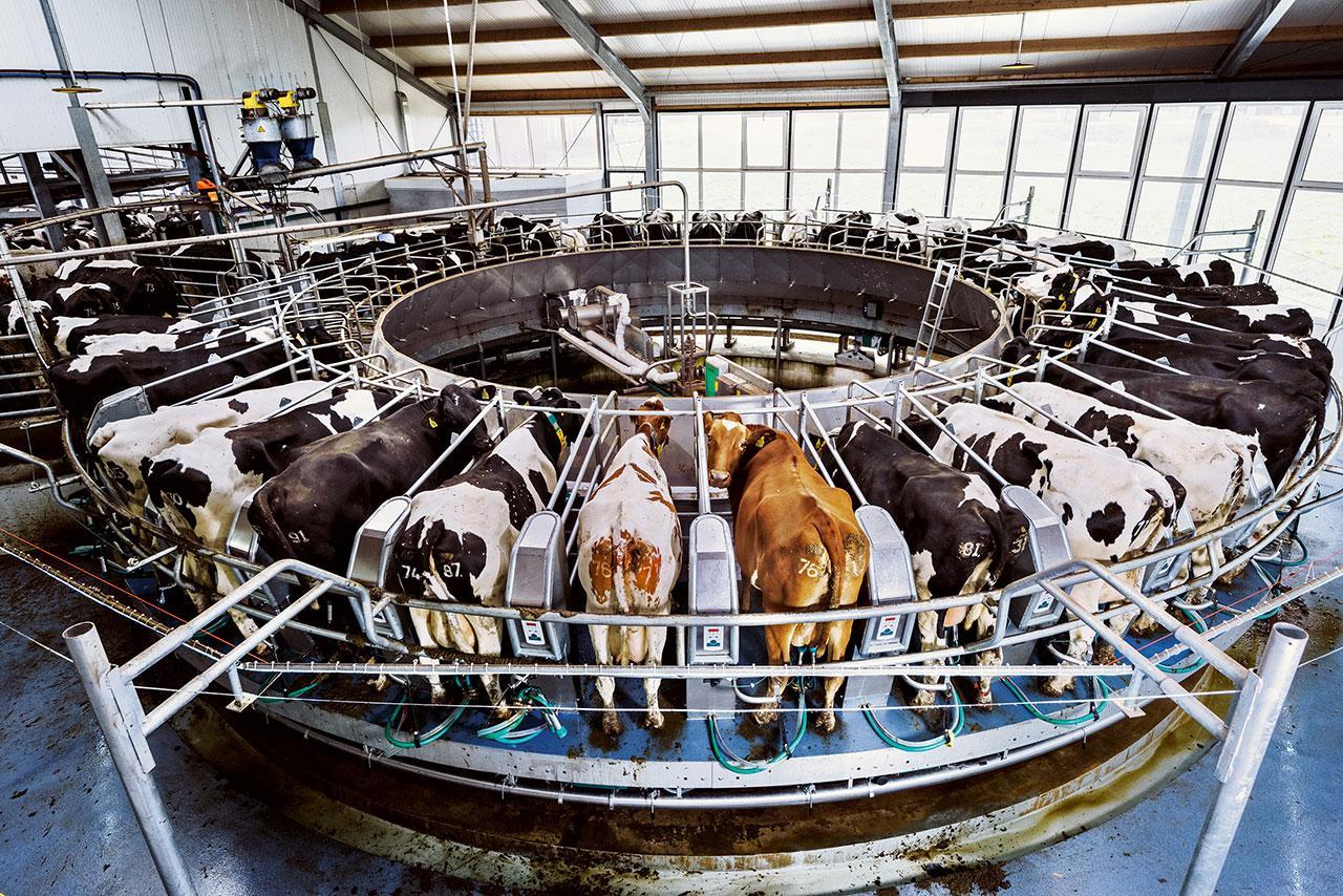 เครื่องรีดนมวัวระบบหมุนรอบ เอื้อให้ผู้ควบคุมเครื่องสามารถรีดนมวัวได้ 150 ตัวต่อชั่วโมง นักวิจัยที่วิทยาเขต โคนม (Dairy Campus) ของมหาวิทยาลัยวาเคนิงเงิน ช่วยค้นหาหนทางแก้ปัญหาการทำฟาร์มโคนมในเนเธอร์แลนด์ ซึ่งมีประชากรอาศัยอยู่หนาแน่น