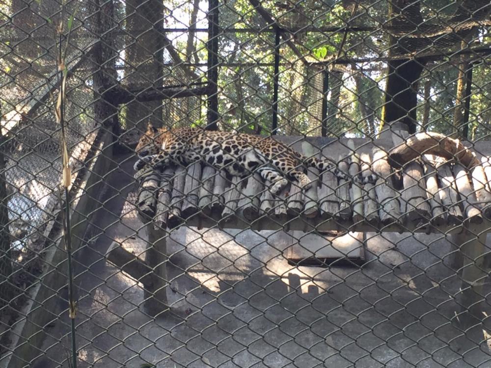 เสือดาวกำลังนอนหลับ