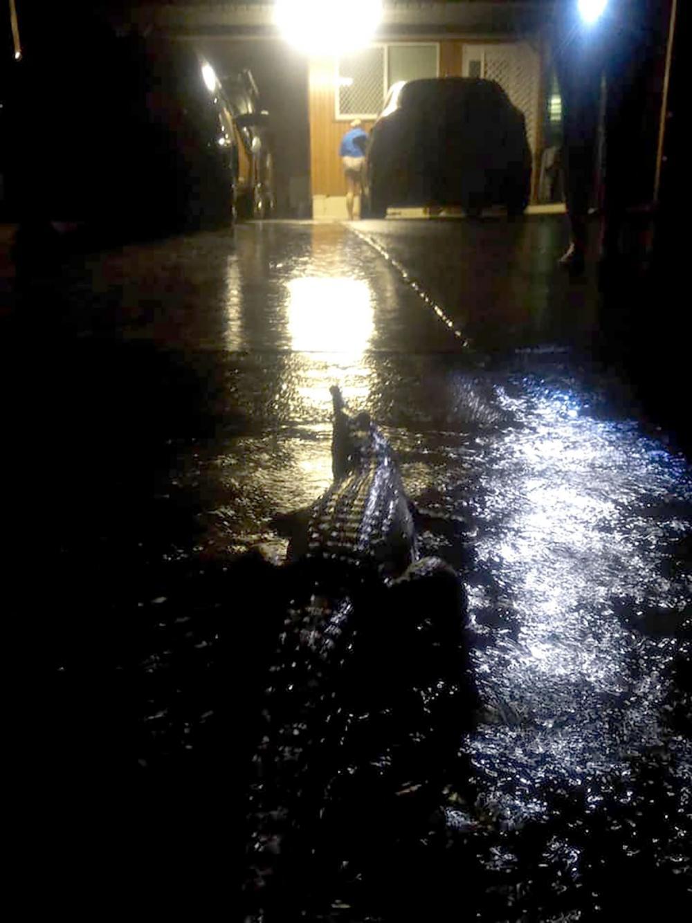 อีริน ฮาห์น ถ่ายภาพ จระเข้ตัวใหญ่ เดินบนถนน ขณะเกิดน้ำท่วมในเมืองทาวน์สวิลล์