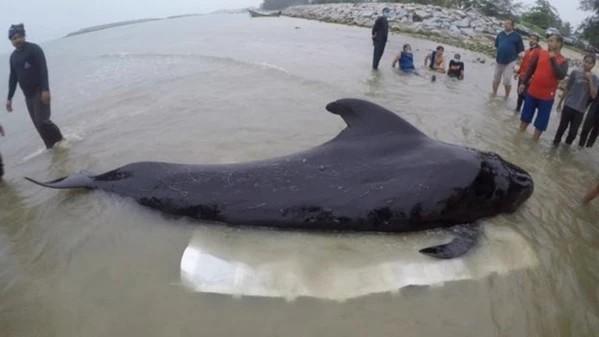 วาฬนำร่องครีบสั้น