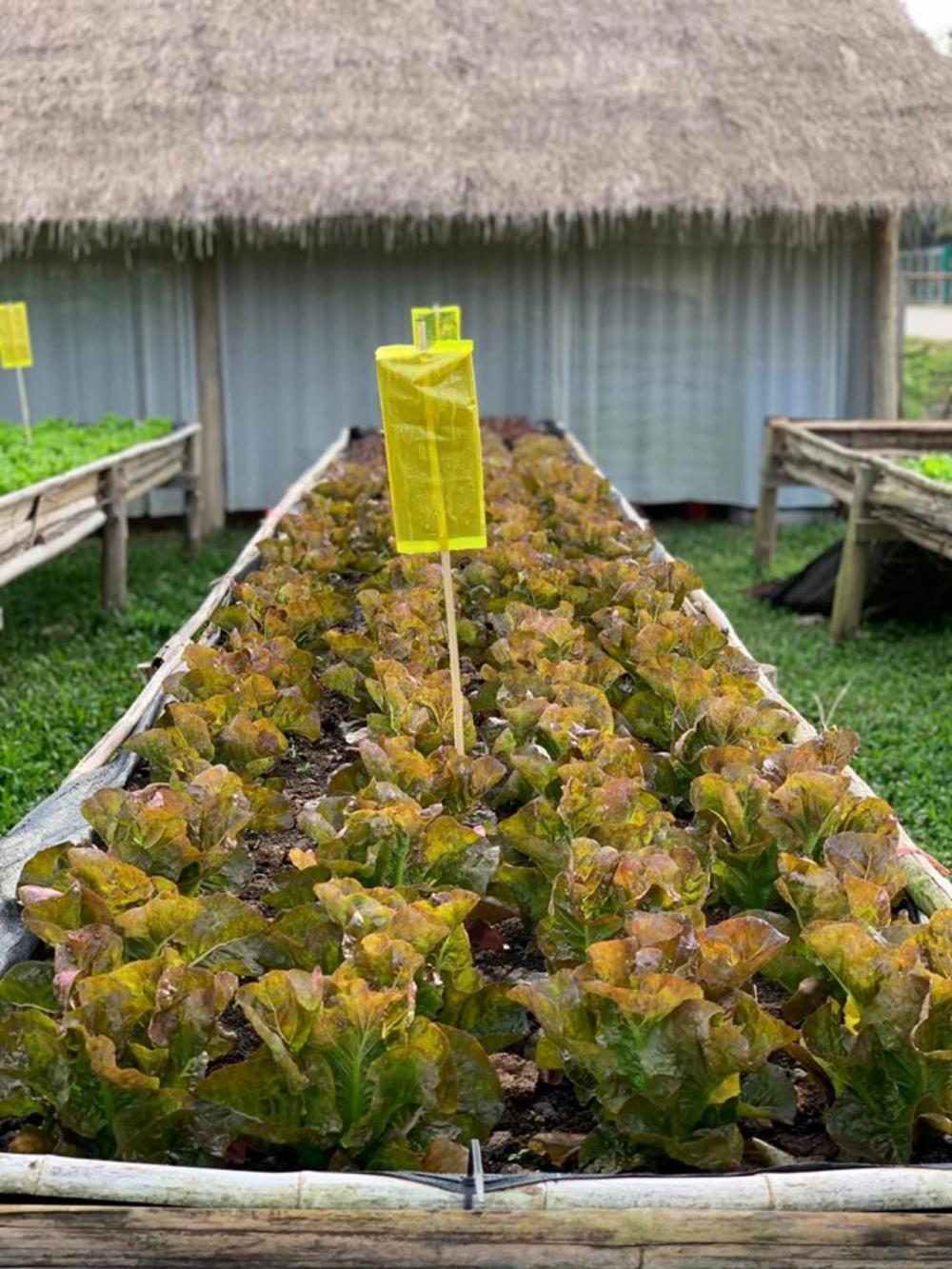 การดูแลรักษาในระบบเกษตรอินทรีย์ นอกจากฉีดพ่นน้ำหมักชีวภาพ มีอีกวิธีที่ช่วยลดแมลง คือ หลักการแมลงชอบสีเหลือง จึงนำกาวเหนียวติดถุงเหลือง และล่อให้แมลงมาติด