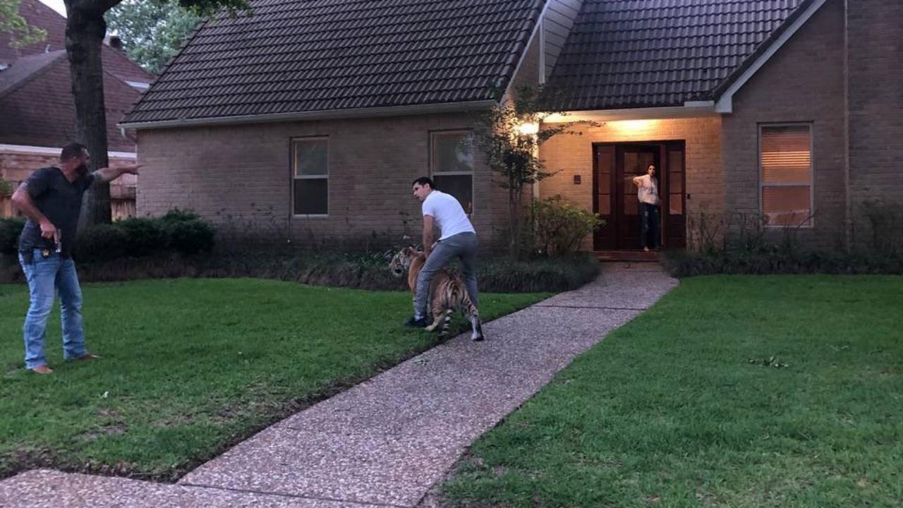ระทึก เสือเบงกอลหลุดจากบ้านเดินเพ่นพ่านบนถนนเทกซัส ก่อนเจ้าของอุ้มขึ้นรถหนี