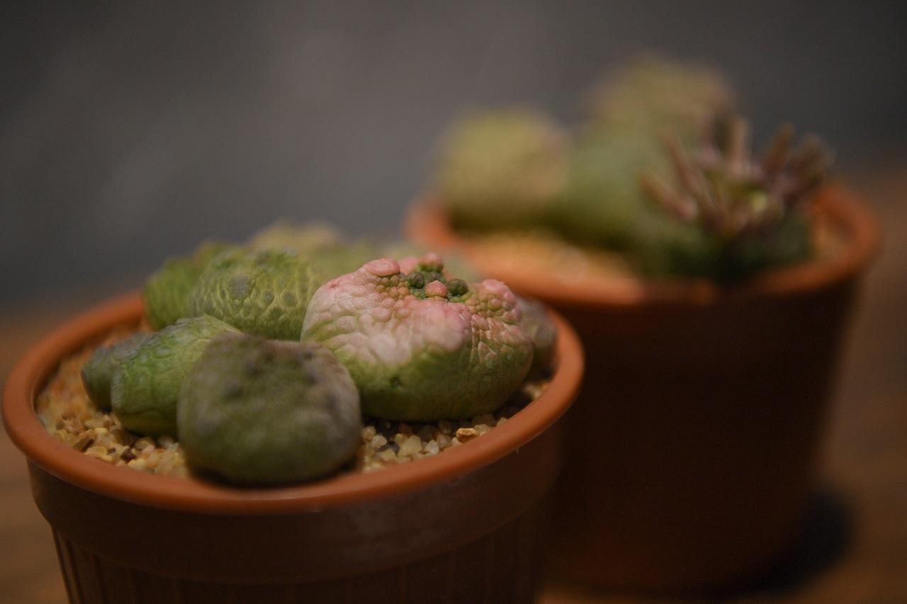 Pseudolithos cubiformis f. variegata